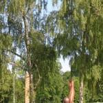 Akhuş Ağacı