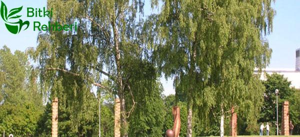 Akhuş Ağacı (Kayın Ağacı)
