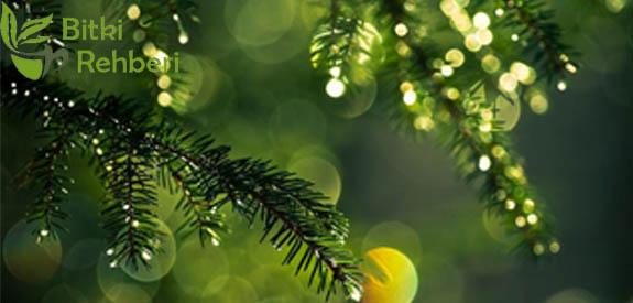 Çam Ağacı (Pinus)