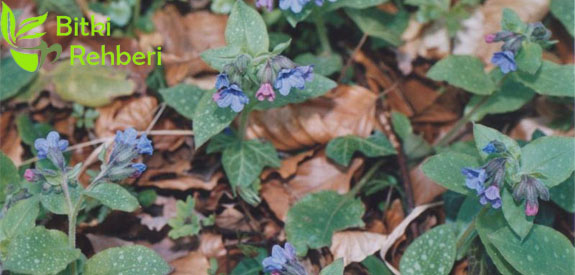 Ciğer Otu (Pulmonaria Officinalis)