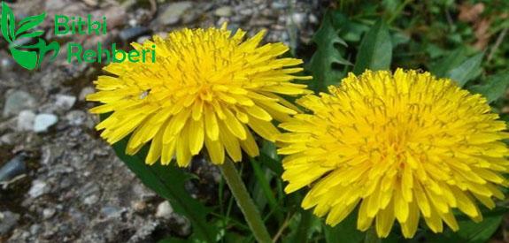 Centiyane (Yılanotu) Bitkisi