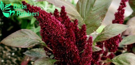 Amaranth Bitkisi ve İlginç Kullanım Alanı