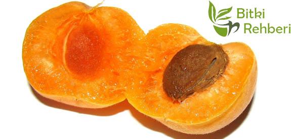 Kayısı(Prunus Armeniaca) Faydaları