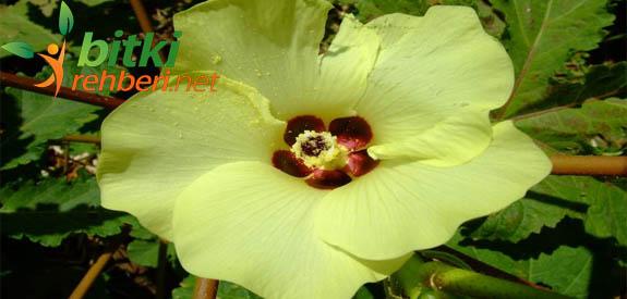 Bamya Çiçeği Çayı
