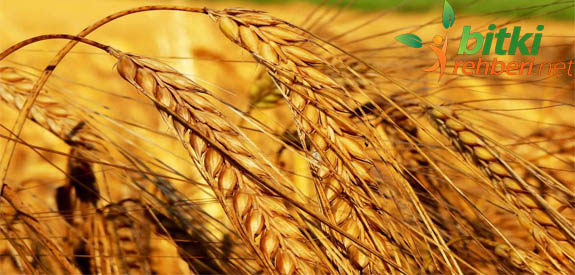 Temel Besin Kaynağımız Buğday
