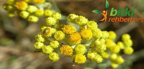 Altın Otu (Ölmez Çiçek)