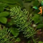 At kuyruğu bitkisi