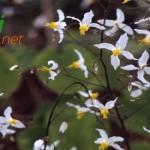 Epimedium Bitkisi