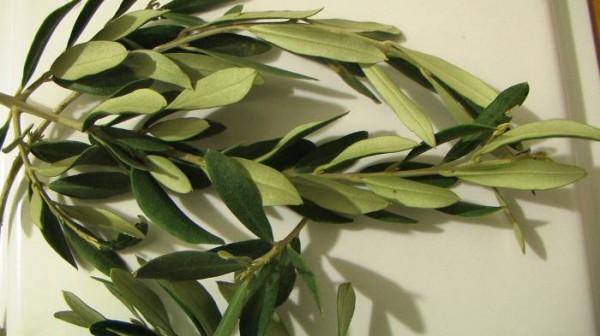 Şifalı Zeytin Yaprağı