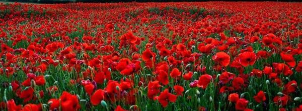 Gelincik Çiçeğinin Faydaları