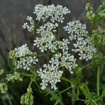 Conium_maculatum_Lincolnshire_2