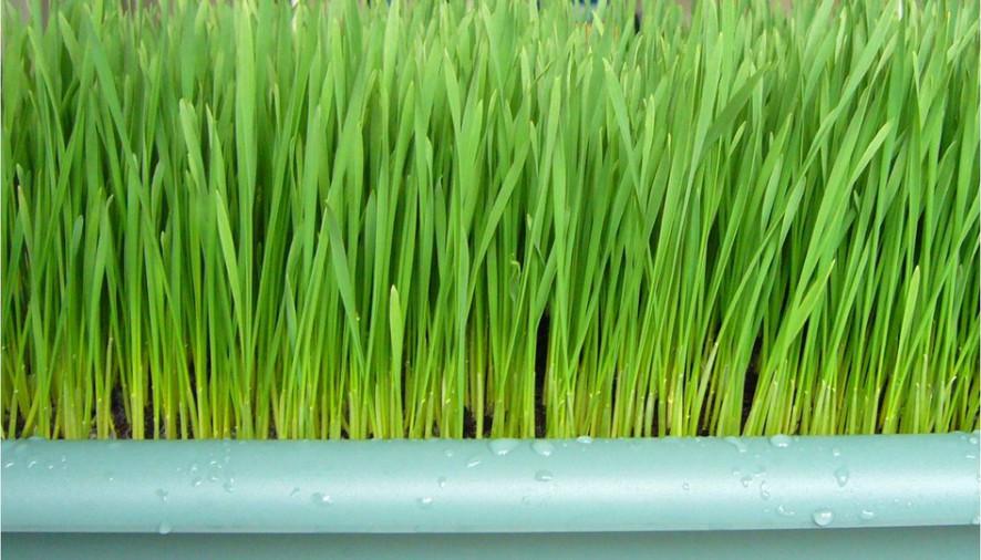 Buğday Çimini Sıkmak Artık Çok Kolay